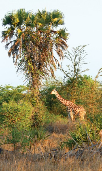 Se opp for giraffer! De langstrakte skapningene er populære innslag i nasjonalparken, og flotte fotomotiv i tett kratt. Foto: Runar Larsen