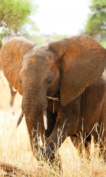 Dyrebestanden er ikke på nivå med Ngorongoro og Serengeti, men det blir stadig flere elefanter og andre spennende arter å se i Saadani. Foto: Runar Larsen