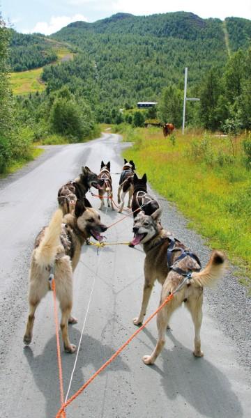 Seks firbente klare for å ta oss med på hundekjøring! Foto: Kjersti Vangerud