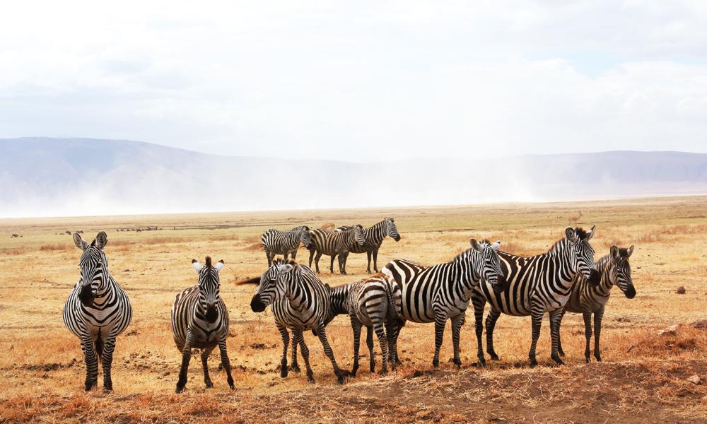 Plassen er begrenset, men hordene av ville dyr er enorme nede i den kollapsede vulkanen Ngorongoro i Tanzania. Foto: Runar Larsen
