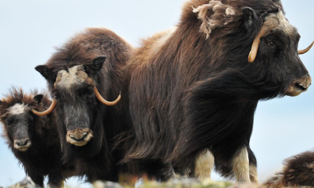 Moskus er det nest største dyret i Norge, og hannene kan bli 450 kilo tunge og løpe i opptil 60 km i timen. Så det er best å holde litt avstand. Foto: Roger Brendhagen