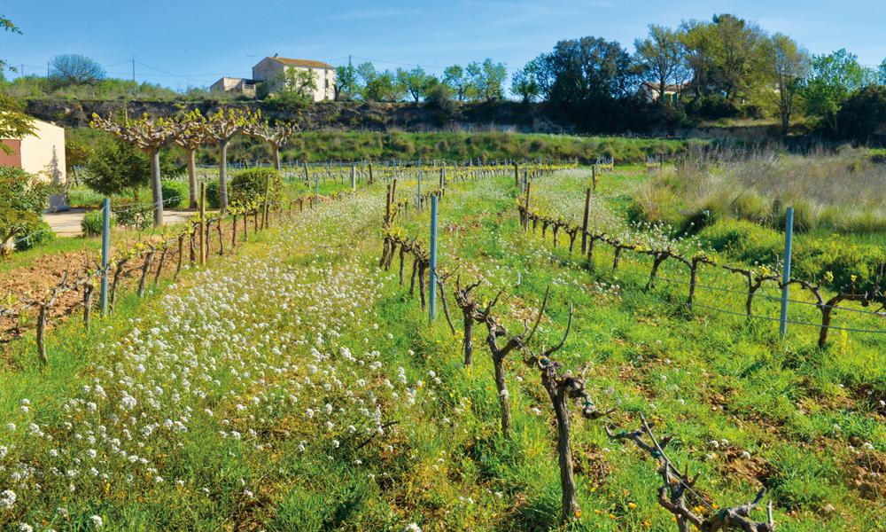 Om noen måneder er vinrankene tunge av druer. Men enn så lenge er det engblomstene som regjerer. Foto: Gjermund Glesnes