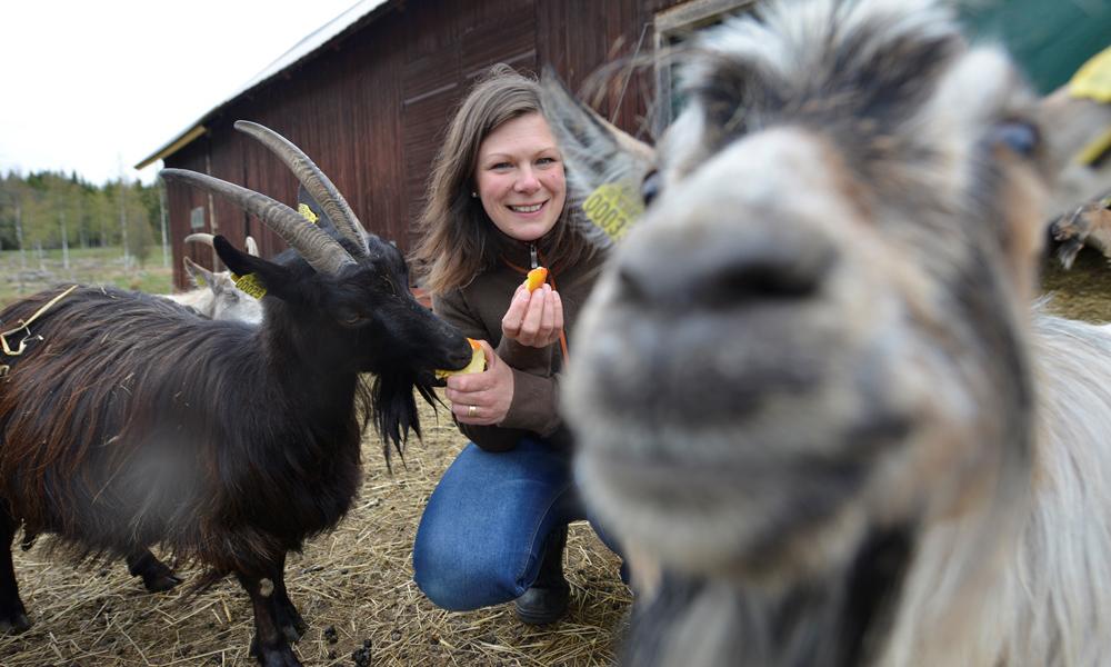 Ifølge Malin Nelson på Fröset er geita Astrid smartere enn alle andre geiter. Foto: Gjermund Glesnes
