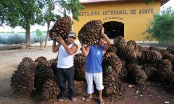 Det er fra den konglelignende rota av agaveplanten det hele starter. Utenfor byen Valladolid kan du bli med på en guidet tur i produksjonen av Mexicos nasjonaldrikk. Og få rikelig med smaksprøver. Foto: Runar Larsen