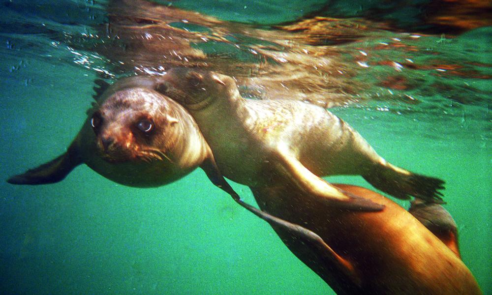 På cruise til Galápagos møter man garantert sjøløver. Foto: Torild Moland