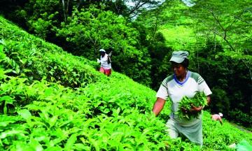 Julita Betsy og de sju andre teplukkerne på Teafactory plukker faktisk all te som selges på Seychellene. Foto: Ronny Frimann