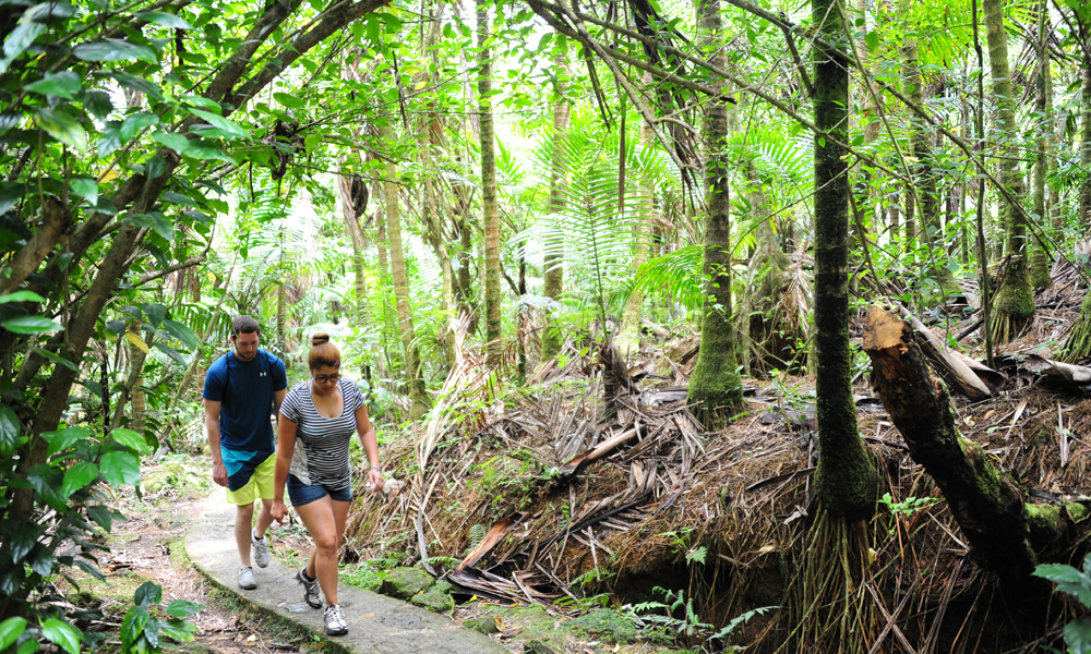 El Yunque er den eneste tropiske regnskogen i USA, og en del av nasjonalparken er gjort tilgjengelig for publikum med et nettverk av veier og stier. Foto: Torild Moland