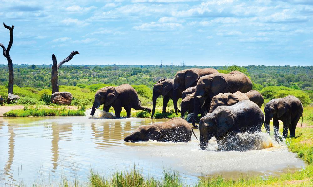 Elefantene er de eneste pattedyrene som ikke kan hoppe. Til gjengjeld kan de svømme og bruker snabelen som snorkel. Foto: Ronny Frimann