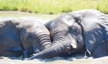 Elefanter har et avansert følelsesliv og kan uttrykke sorg, medfølelse og selvbevissthet. Eller ren og kjær kjærlighet. Foto: Ronny Frimann