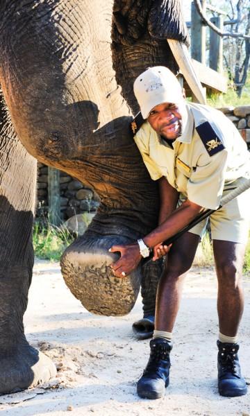 Tigere ser på elefantene som sin nærmeste familie og den aller største favoritten heter Jabulani. Foto: Ronny Frimann