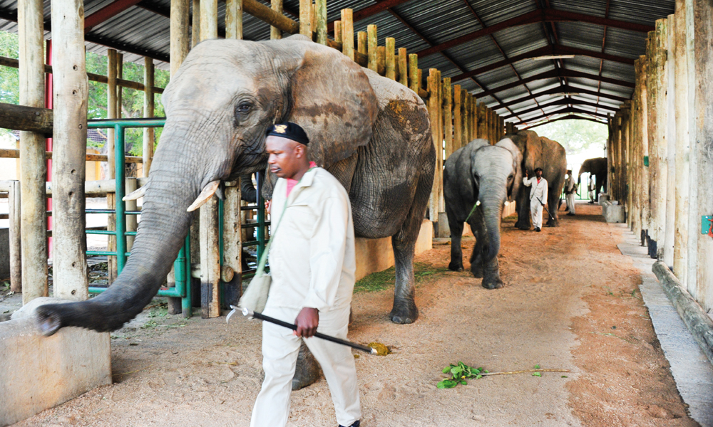 Når morgenlyset gryr, slippes elefantene ut av stallen og klargjøres for første ridetur. Om kvelden går de helt frivillig inn i båsen sin igjen. Foto: Ronny Frimann