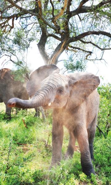 Elefanter er kloke og innsiktsfulle dyr – så kloke at Tigere mener de forstår ham bedre enn hans egen familie... Foto: Ronny Frimann
