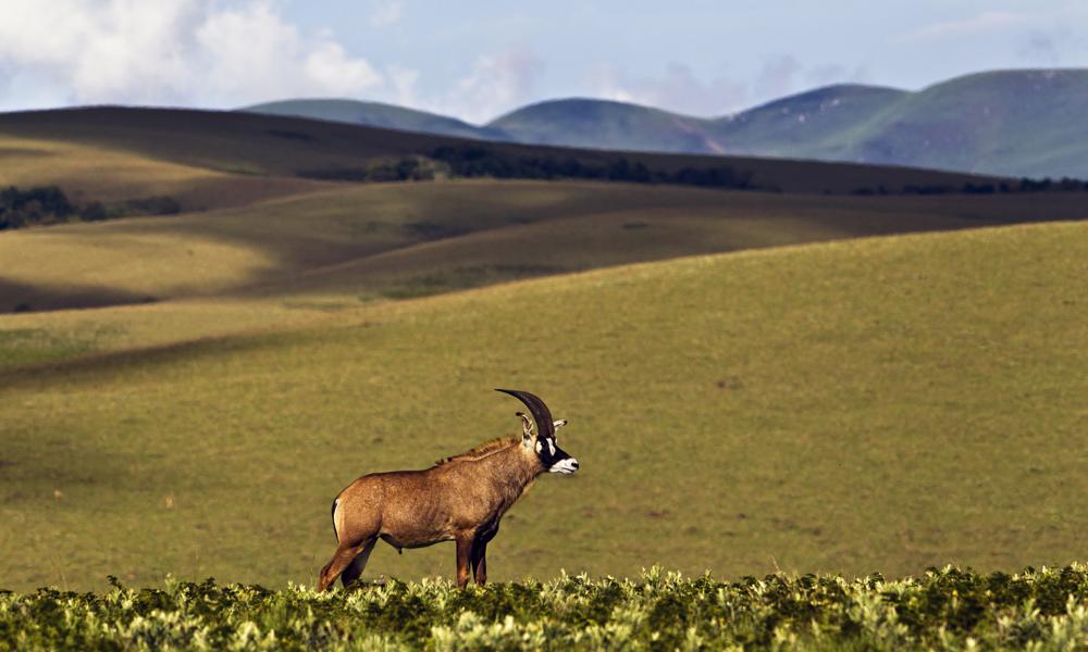 Dyrene står ikke tett i Nyika, men synet av dem blir desto flottere. Dette er en roanantilope. Foto: Gjerund Glesnes