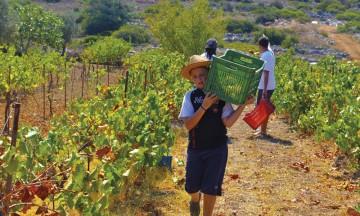 Angel (12) tar sin tørn i vinåkeren, selv om det er noen år til han kan drikke vinen. Foto: Gjermund Glesnes