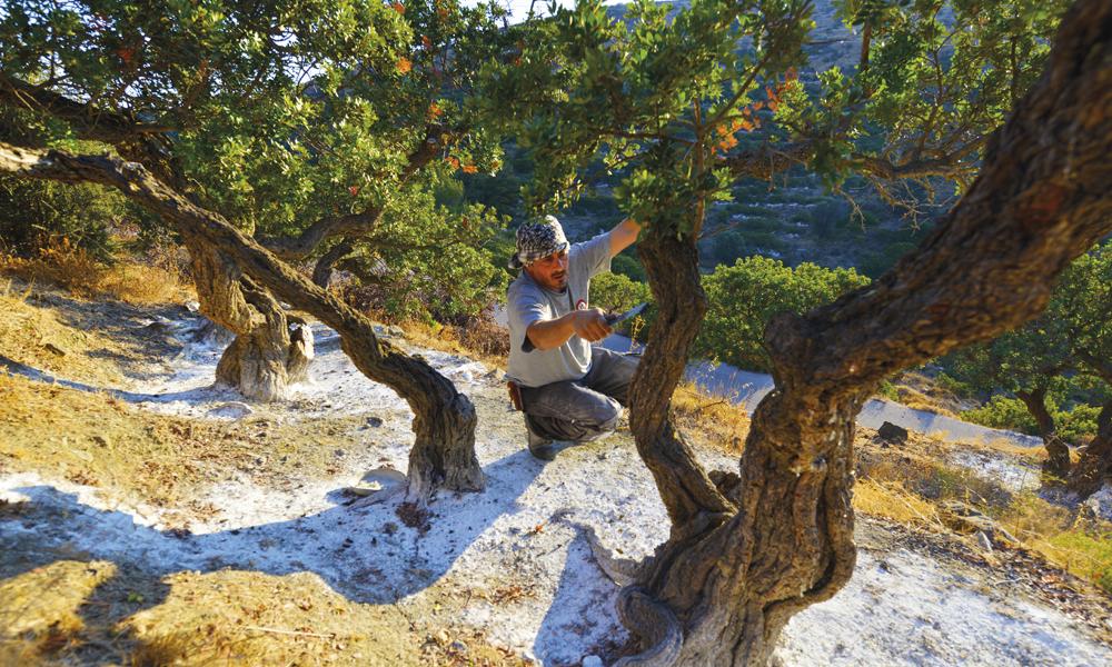 Nikos Rikaniadis (45) skraper løs mastiks – kvae fra et lavt treslag som trives på sørsiden av Khios. Foto: Gjermund Glesnes