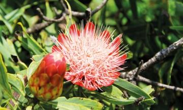 Drakensbergs mangfold av flora og fauna var med på å sikre fjellkjeden en plass på UNESCOs verdensarvliste i 2000. Foto: Kjersti Vangerud