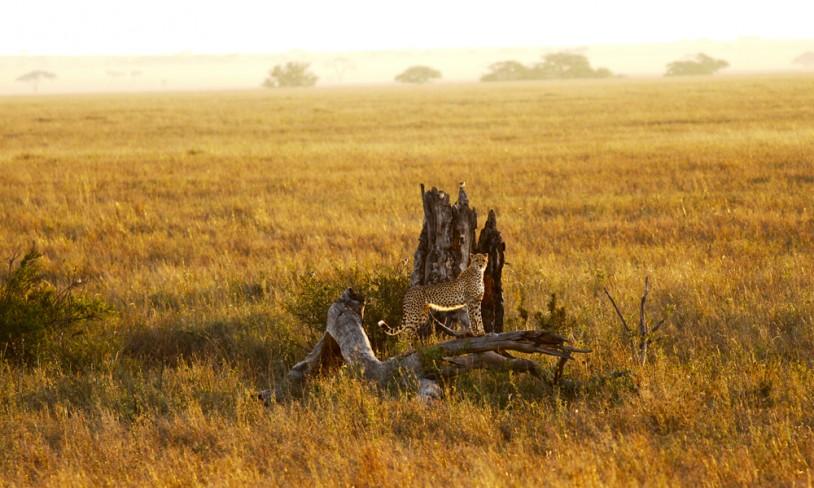 24. Safari i særklasse - Serengeti, Tanzania