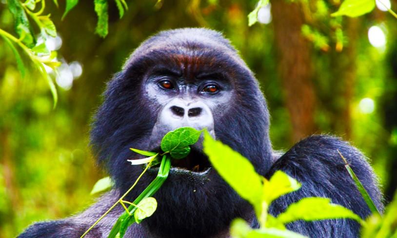 12. Gorillasafari - Uganda