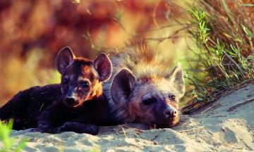 Under en halvtime fra campen har en hyenefamilie fått smårollinger, og tre små nøster snuser ivrig på bilen og lurer på hva slags raringer vi er. Foto: Torild Moland