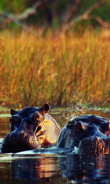Snøftende og bråkete – flodhesten har få fiender og er ikke vanskelige å få øye (øre) på. Foto: Torild Moland