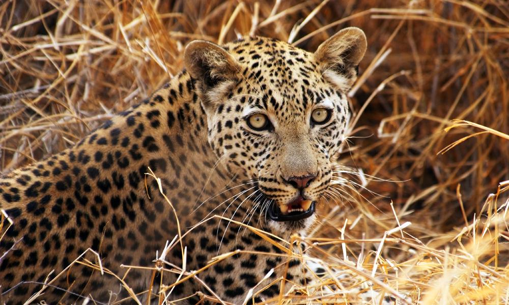 I Kalahari må man gjøre en innsats for å se rovdyrene, men er man heldig kan man få øye på dem. Foto: Ronny Frimann