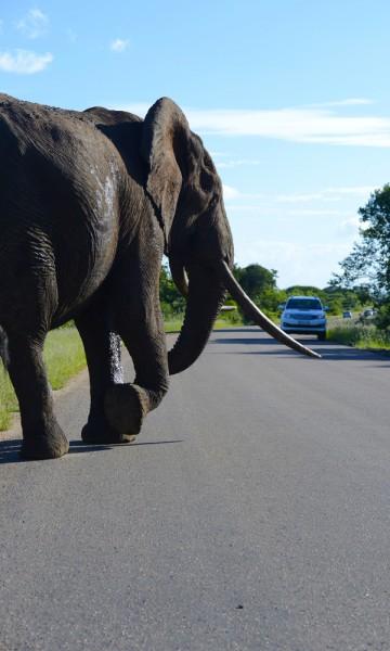 Ingen tvil om hvem som er sjefen her. Det er lett å føle seg som teskjekjerringa når en fire tonns elefant dundrer forbi bilvinduet. Foto: Torild Moland