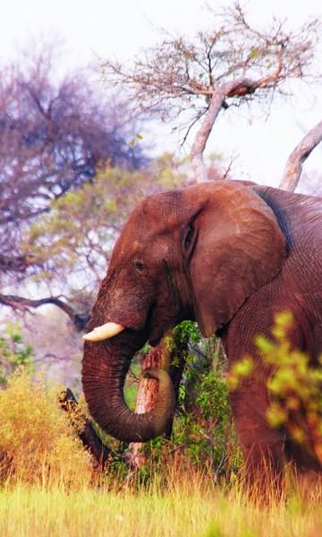Lunsj i det fri betyr uventet selskap. Heldigvis er elefanten mest interessert i gress og busker og ikke vegetarquiche. Foto: Ronny Frimann