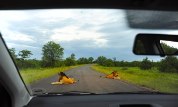 På safari i egen bil kan de beste opplevelsene komme når som helst. For eksempel kan en flokk løver i veien skape problemer med å nå campen før stengetid... Foto: Torild Moland