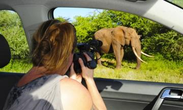Elefanter er store, sterke dyr som faktisk kan snu en bil om de får lyst. Så hva skal du gjøre i møte med en elefantflokk? Skru av motoren, stå stille, eller rygge sakte bakover? Foto: Ronny Frimann
