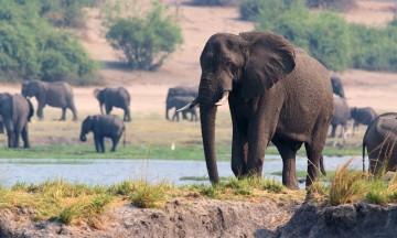 Chobe er et av verdens beste steder for å se elefant, for det er enormt mange av dem. Foto: Ronny Frimann