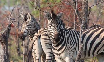 Til tider er det som å kjøre gjennom et sjakkbrett gjennom skogen, for sebraene florerer. Foto: Ronny Frimann