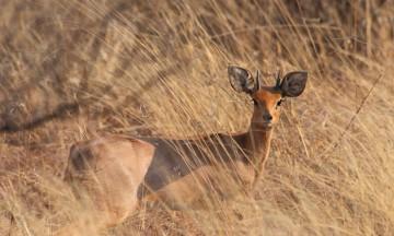 Liten, redd og mat for de fleste rovdyrene. Springboken lever et utsatt liv. Foto: Ronny Frimann