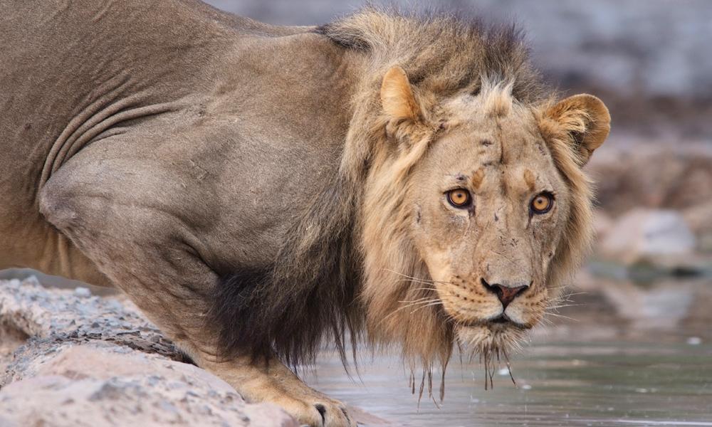 En stakkars gepard var i ferd med å forsyne seg av vannhullet, da den plutselig stakk. Ike uten grunn – Løvenes konge var også tørst. Foto: Ronny Frimann