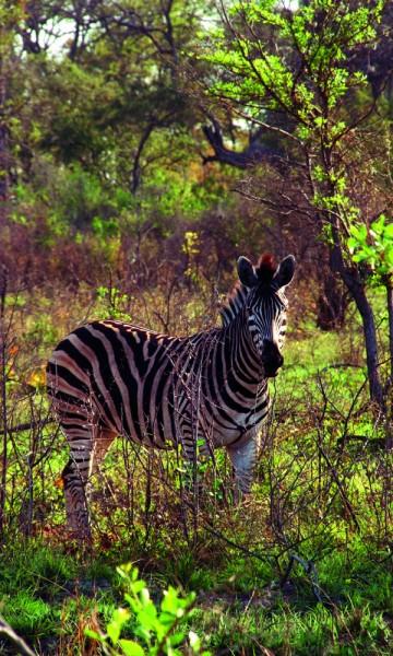 Til tider ser skogen ut som et sjakkbrett. Sebraene er åpenbart ikke utrydningstruet. Foto: Ronny Frimann