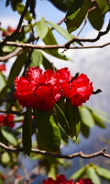 En rhododendron i sin fulle prakt. Foto: Mari Bareksten