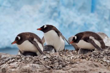 Pingvinene spiller stadig hovedrollen. Foto: Ann Kristin Balto