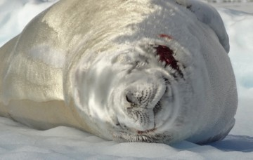 Stappmett og trøtt kar på isen. Foto: Ann Kristin Balto