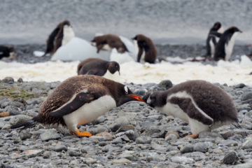 Søte små fastboende i Antarktis. Foto: Ann Kristin Balto