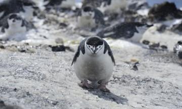 Antarktis byr på et helt spesielt dyreliv, flere typer pingviner. Dette er en ringpingvin. Foto: Ronny Frimann