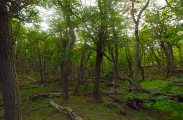 Eviggrønn løvskog i Terra del Fuego. Foto: Ann Kristin Balto / Testpanelet