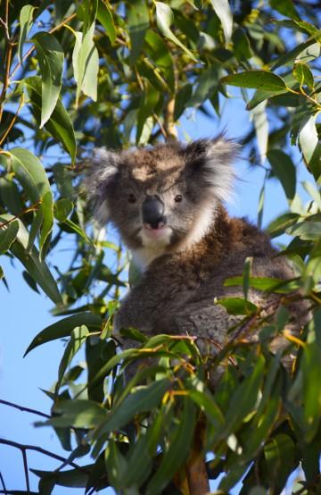 Langs Great Ocean Road blir det nok av muligheter til å se koalabjørn. Foto: Mari Bareksten