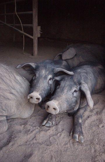 I en binge på tunet stikker to griser snutene ut for å hilse på gjestene. Foto: Ronny Frimann