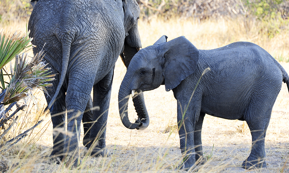 Tanzania har mistet langt over halvparten av sine elefanter bare de siste sju årene. Men i Katavi er det fortsatt store flokker – og det er bare å skygge banen når de kommer. Foto: Ronny Frimann