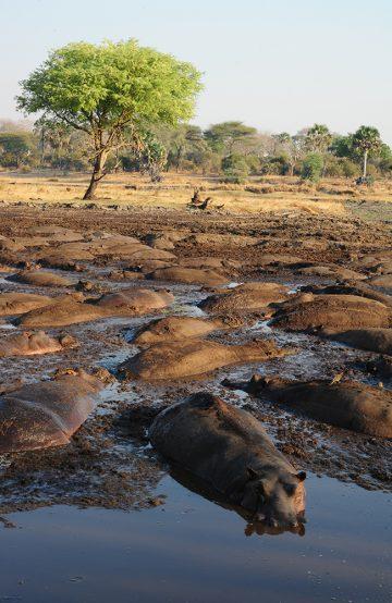 Katavi har Tanzanias største tetthet av flodhest. Katavi er best i den tørre tiden fra mai/juni til oktober/november, da samles dyrene ved vannhullene og man kan se hundrevis av flodhester i én liten pytt. Foto: Ronny Frimann