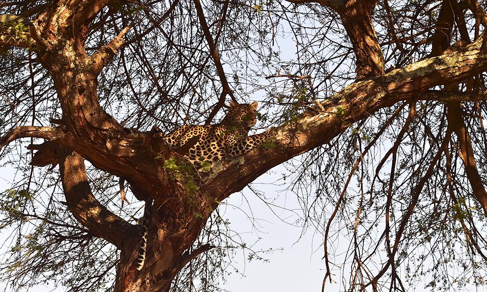 Mest kjent for sine elefantflokker og flodhest, men Katavi byr på veldig varierte opplevelser – fra koselige møter med sjiraff til en vakker leopard i tretoppen. Foto: Ronny Frimann