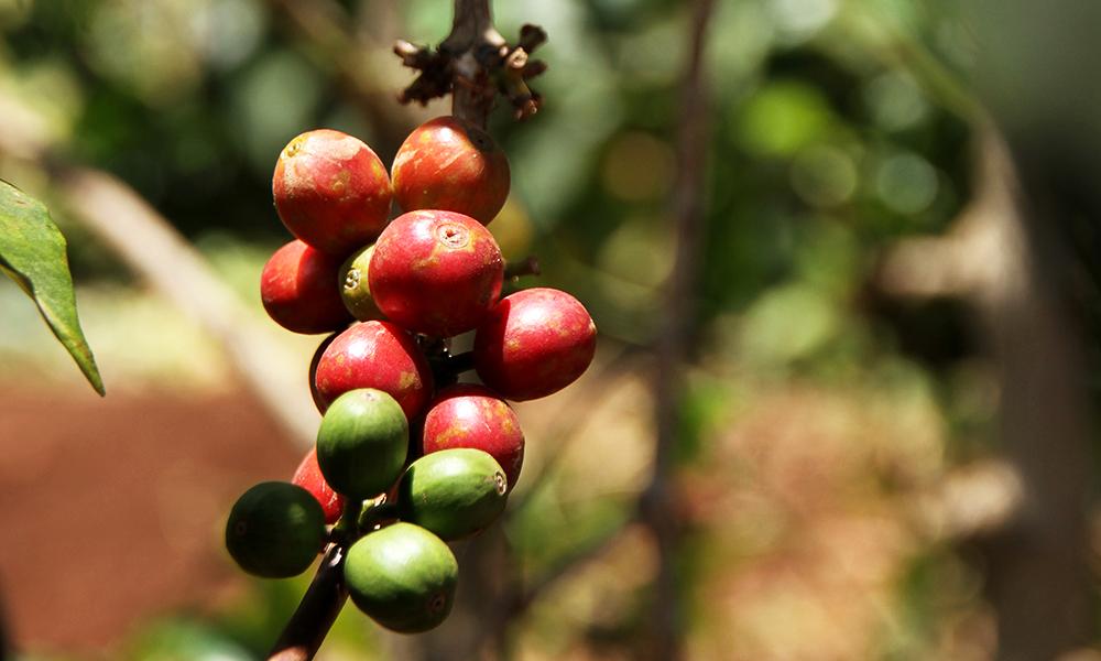 12. Kaffe Tanzania