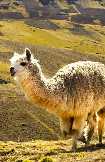 Lamaene var på plass! Foto: Ingrid Holtan Søbstad