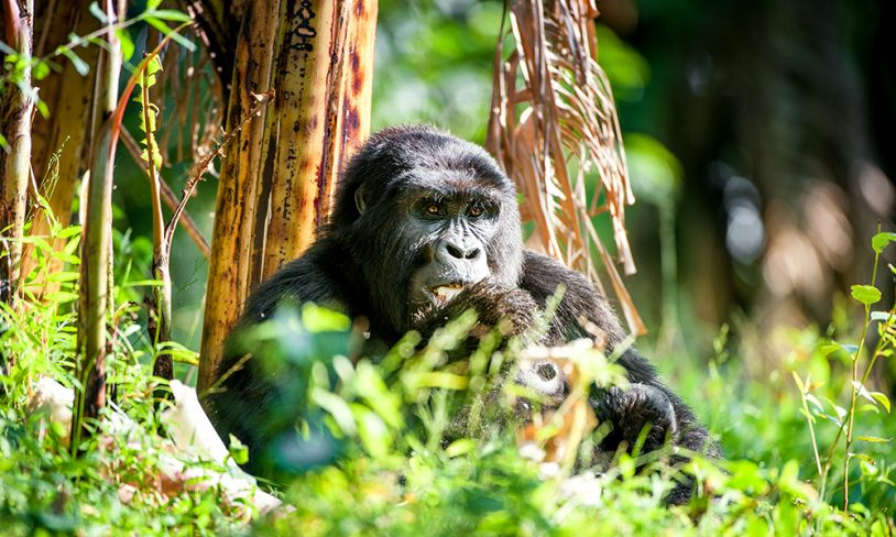 9. Fjellgorillaenes Rwanda