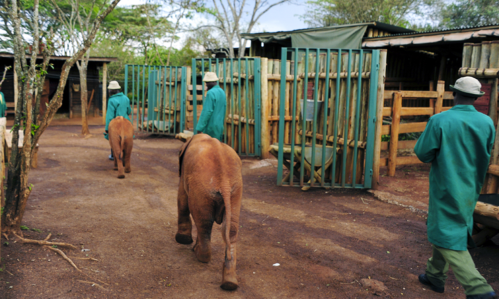 Etter dagens lange luftetur løper elefantene selv inn i båsen. Foto: Torild Moland