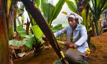 Kornchit Alemayo demonstrerer hvordan hun lager mel av bladene til ensetebanan-planten – en plante som betyr liv eller død for dorzefolket. Foto: Gjermund Glesnes